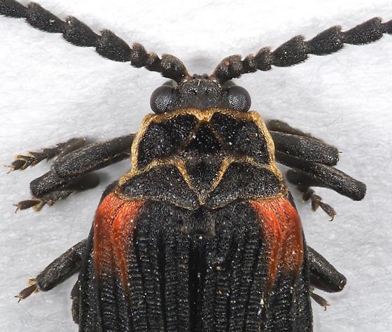 Net-winged Beetle - Greenarus thoracicus