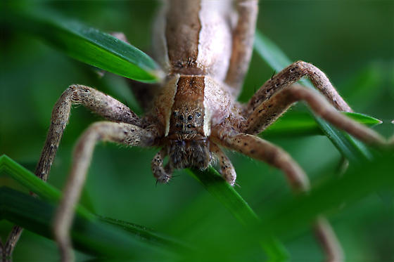 Nursery Web Spider Moulting? - Pisaurina mira