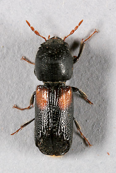 Small beetle - Xylobiops basilaris