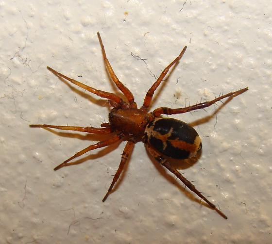 Spider (Family Amaurobiidae?) - Sacramento, CA  - Castianeira thalia