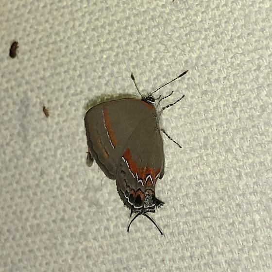 Calycopis cecrops