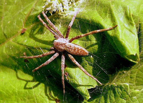 Name That Spider Pisaurina Mira