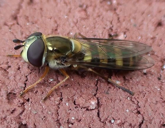 Syrphidae: Syrphus?