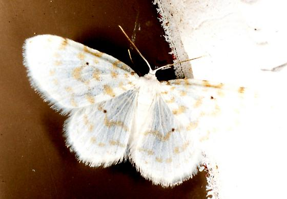 moth unknown08 110605 - Hydrelia albifera