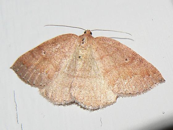 Drepanulatrix carnearia - Drepanulatrix - female