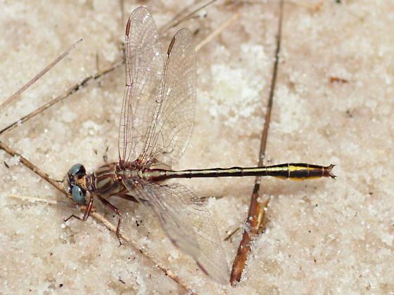 Sandhill Clubtail - Phanogomphus cavillaris - male