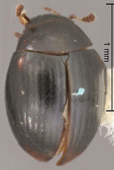 Megasternum posticatum (Mannerheim) - Megasternum posticatum