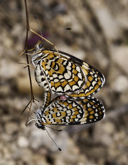 A pair of Microtia? - Microtia dymas - male - female