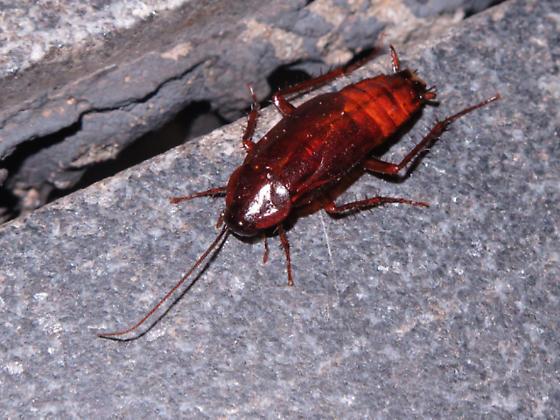 Presidential cockroach - Blatta orientalis - male