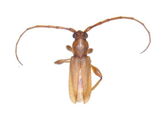 Curtomerus flavus