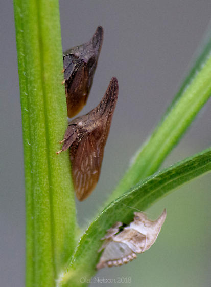 Wide-footed Treehopper - Enchenopa latipes