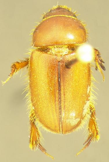 Pseudochodaeus estriatus (Schaeffer) - Pseudochodaeus estriatus