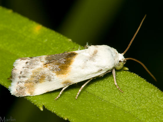 Olive-Shaded Bird Dropping Moth - Ponometia candefacta