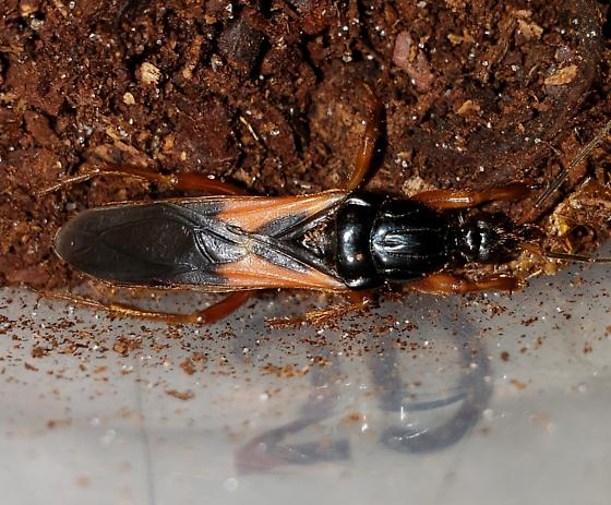 Florida orange and black bug - Sirthenea carinata