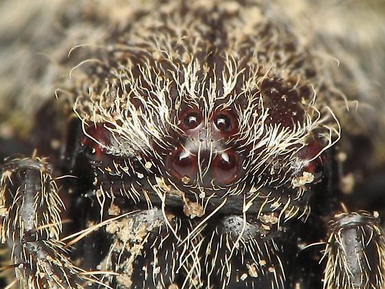 Spider ID - Eriophora ravilla