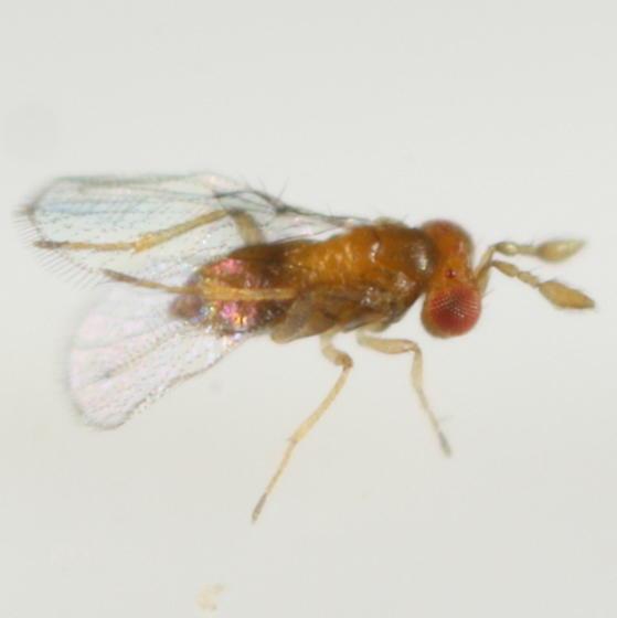 Trichogrammatid - Trichogramma - female