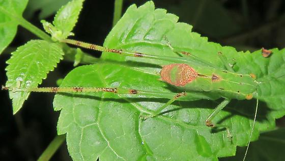 Lesser Angle-winged Katydid nymph? - Microcentrum retinerve - female