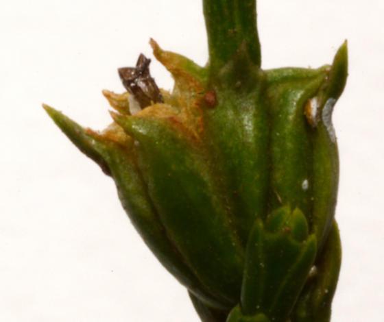 gall midge on Calocedrus decurrens - Walshomyia