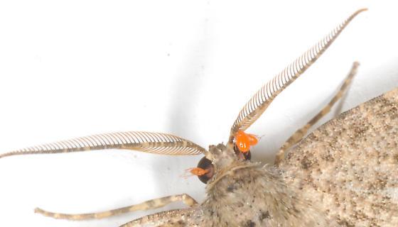 Erythraeidae?