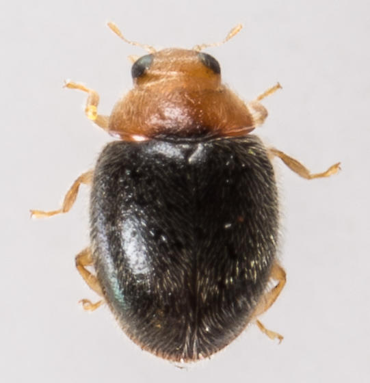 Lady Beetle? - Diomus xanthaspis - male