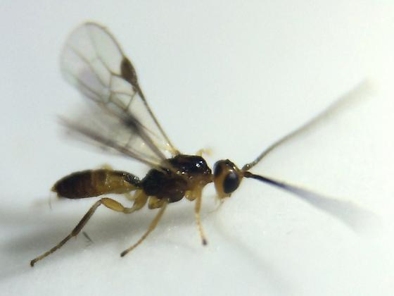 Braconid - Compsobraconoides - male