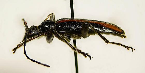 Lepturinae of sorts? - Cortodera longicornis