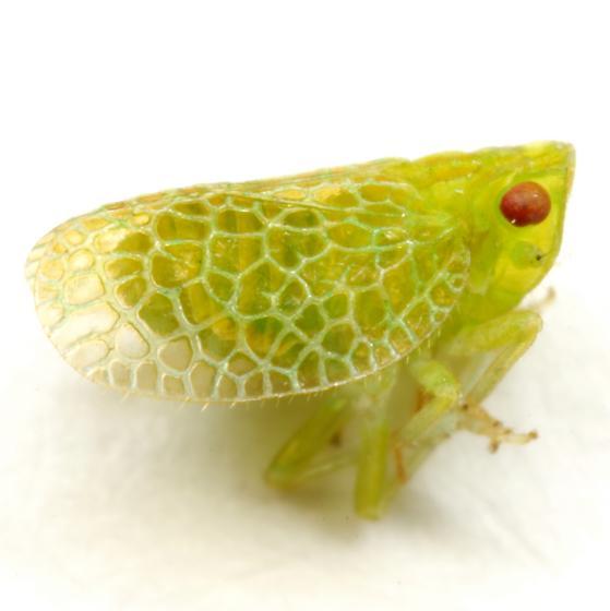 Dictyonissus griphus Uhler - Dictyonissus griphus