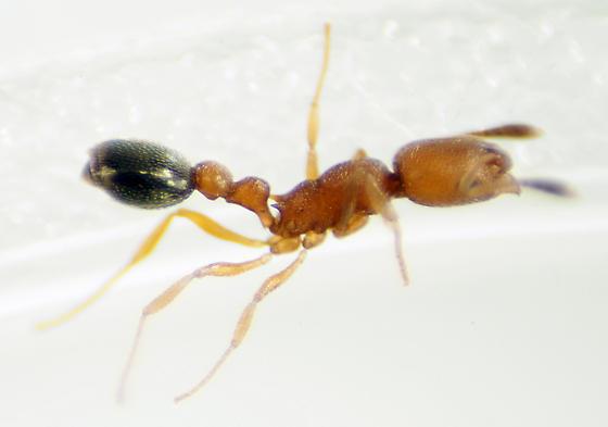 Unknown Ant - Cardiocondyla emeryi - female