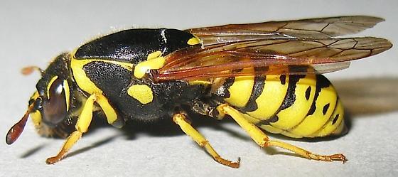 Pollen Wasp - Pseudomasaris vespoides - female