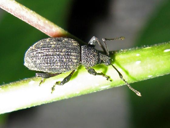 Weevil ID? - Otiorhynchus sulcatus