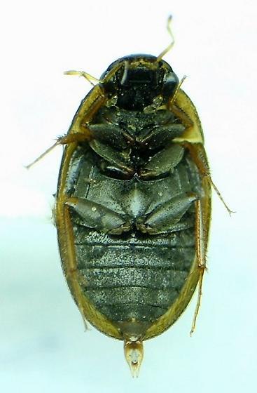 Enochrus pygmaeus
