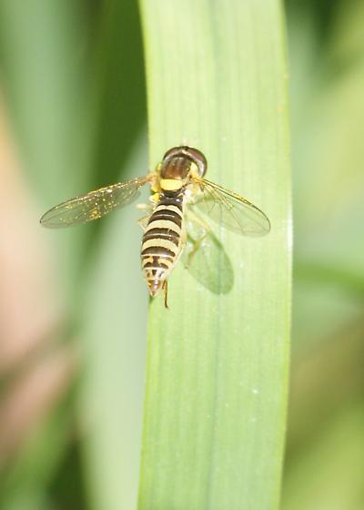 fly - Sphaerophoria