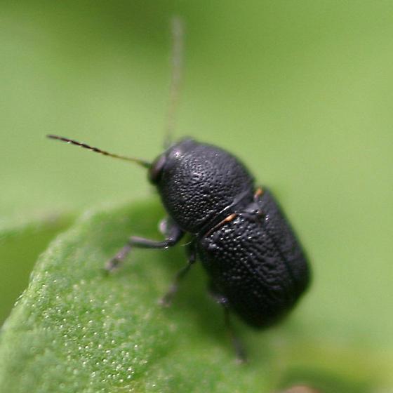 casebearer.. - Pachybrachis nigricornis