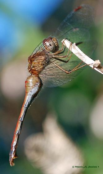 Autumn Meadowhawk - Sympetrum vicinum  - Sympetrum vicinum - female