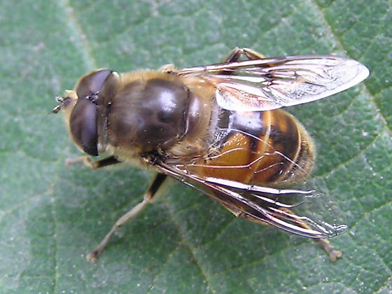 Is this a drone fly? - Eristalis tenax - male