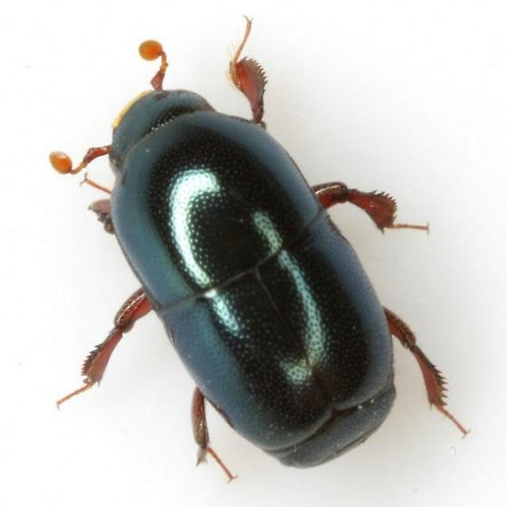 Teretriosoma chalybaeum Horn - Teretriosoma chalybaeum - female