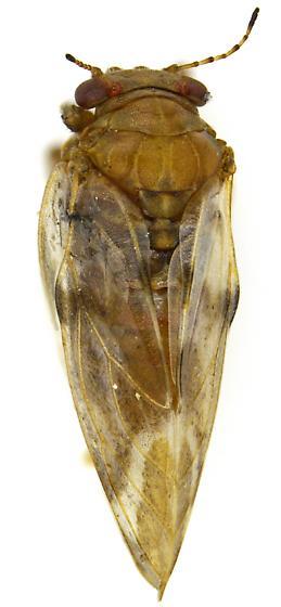 Female, Aphalara? - Pachypsylla pallida