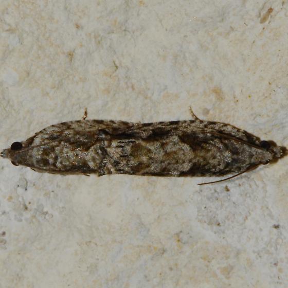 No. 175 Gretchena bolliana - Gretchena bolliana - male - female