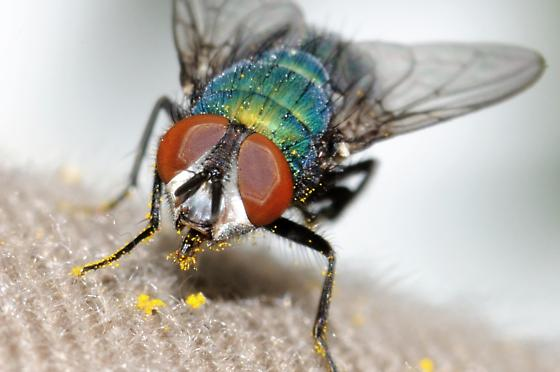 Fly with green body and red eyes. - Lucilia sericata