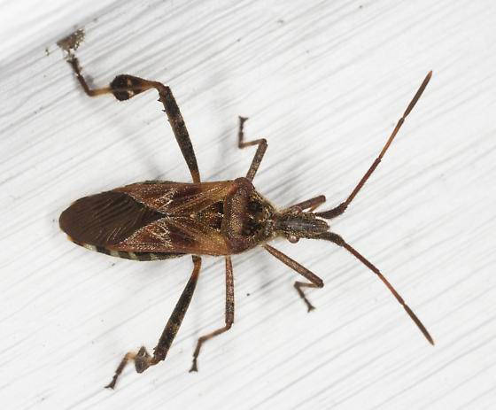 Unidentified Insect   - Leptoglossus occidentalis