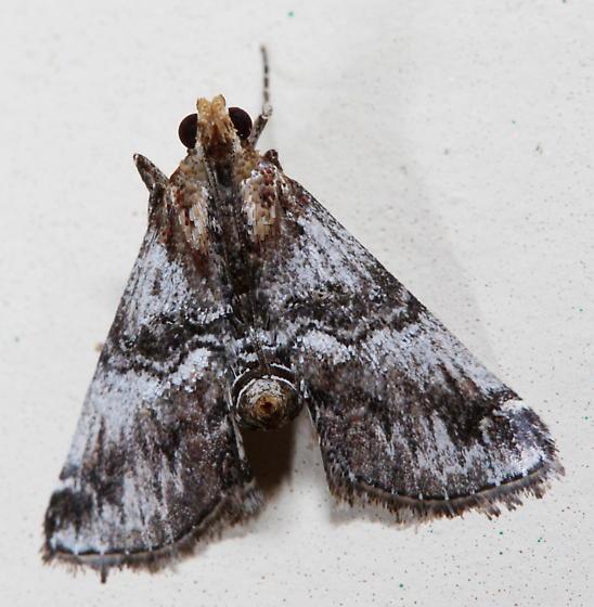 Toripalpus cf. trabalis-1 - Toripalpus