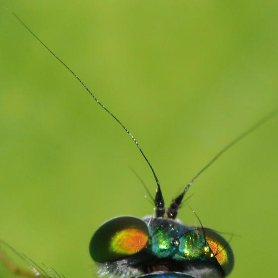 Long antenna - Condylostylus comatus - male