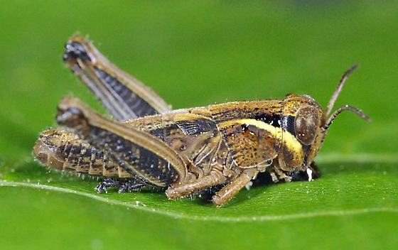 first grasshopper of the season - Melanoplus borealis - male