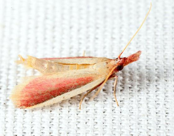 Carmine Snout Moth - Peoria approximella