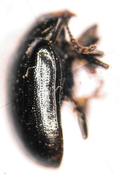 Chryso 1 - Phaedon armoraciae