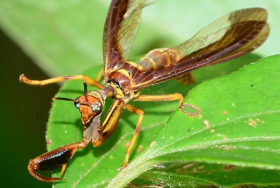 Wasp Mantidfly? - Climaciella brunnea