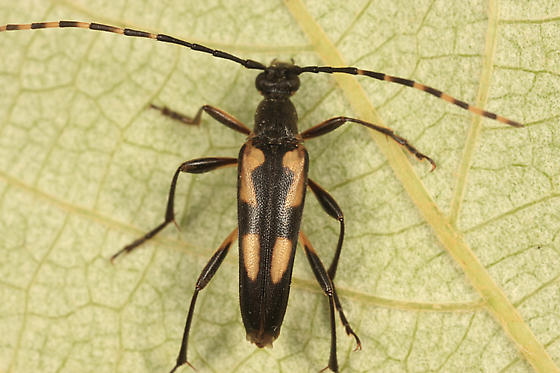 Flower Longhorn - Etorofus subhamatus - male