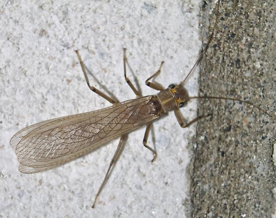 Large stonefly