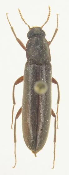 Melittomma sericeum - female