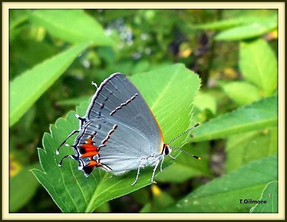 moth type? - Strymon melinus